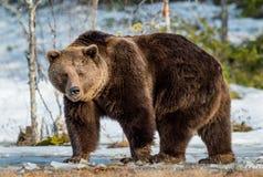 Arctos Ursus бурого медведя на снеге Стоковая Фотография RF