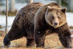 Arctos Ursus бурого медведя на снеге Стоковые Изображения RF