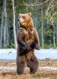 Arctos Ursus бурого медведя на трясине Зеленый лес весны в лучах солнца Стоковое Изображение RF