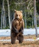 Arctos Ursus бурого медведя на трясине Зеленый лес весны в лучах солнца Стоковые Изображения