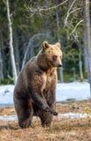 Arctos Ursus бурого медведя на трясине Зеленый лес весны в лучах солнца Стоковые Изображения RF