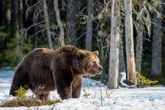 Arctos Ursus бурого медведя на трясине Стоковая Фотография RF