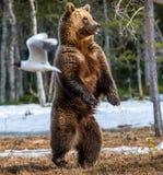 Arctos Ursus бурого медведя на трясине Стоковые Изображения