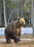 Arctos Ursus бурого медведя стоя на его задних ногах Стоковые Изображения