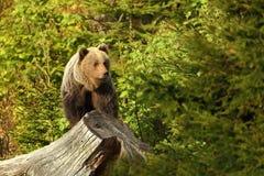 Arctos Ursus Медведь Брайна Фото было принято в Словакию Стоковая Фотография RF