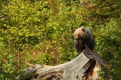 Arctos Ursus Медведь Брайна Фото было принято в Словакию Стоковое Изображение RF