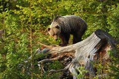 Arctos Ursus Медведь Брайна Фото было принято в Словакию Стоковое Изображение