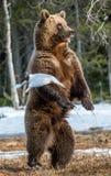 Arctos Ursus медведя Брайна Стоковая Фотография