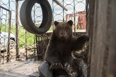 Arctos Ursus новичка бурого медведя сидят в железной клетке на автомобильных шинах и смотрят прямо стоковая фотография