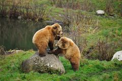 arctos носят коричневый ursus Стоковое Изображение RF
