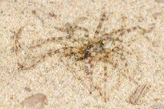 Arctosa SP Αράχνη Στοκ φωτογραφία με δικαίωμα ελεύθερης χρήσης