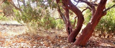 Arctostaphylos Pringlei Manzanita φθινοπώρου οριζόντιο στοκ φωτογραφία