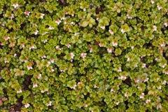 Arctostaphylos uva ursi flowering Stock Image