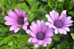 Arctotis chrysanthemum flower Stock Photo