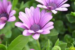 Arctotis chrysanthemum flower Stock Photography