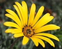 Arctotis Daisy Pale Yellow Foto de archivo libre de regalías