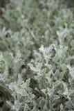 Arctotis stoechadifolia oder afrikanisches Gänseblümchen stockfoto