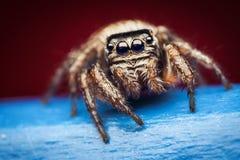 Arcuata van Evarcha het springen spin Royalty-vrije Stock Afbeeldingen