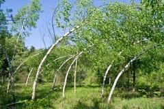 Free Arcuated Birchs Royalty Free Stock Photo - 23466925