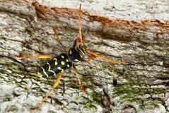 Arcuatus Plagionotus Στοκ Εικόνες
