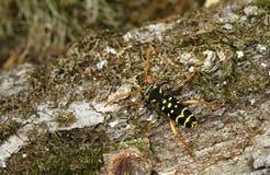 Arcuatus Plagionotus Στοκ φωτογραφία με δικαίωμα ελεύθερης χρήσης