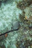 Arcuatus Pomacanthus Στοκ φωτογραφίες με δικαίωμα ελεύθερης χρήσης