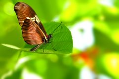 Arcus butterfly Stock Images