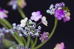 Arcydzięgli kwiaty odizolowywający na czarnym tle Makro- strzelanina, Obraz Stock