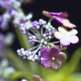Arcydzięgli kwiaty odizolowywający na czarnym tle Makro- strzelanina, Fotografia Stock