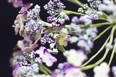 Arcydzięgli kwiaty odizolowywający na czarnym tle Makro- strzelanina, Obrazy Royalty Free