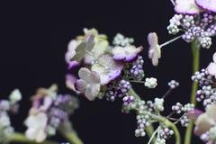 Arcydzięgli kwiaty odizolowywający na czarnym tle Makro- strzelanina, Zdjęcia Stock