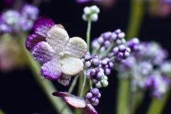 Arcydzięgli kwiaty odizolowywający na czarnym tle Makro- strzelanina, Obrazy Stock