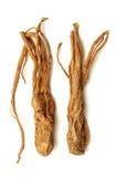 arcydzięgielowy sinensis Obraz Royalty Free