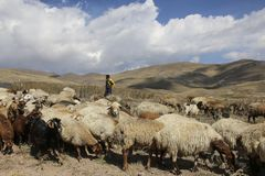 ARDABIL,IRAN- SEPTEMBER 26, 2018: Iranian shepherd and flock of herd of rams and goats at the foot of the inactive volcano Sabalan stock images