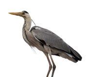 ardea灰质的灰色苍鹭 免版税图库摄影