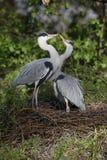ardea灰质的灰色苍鹭 免版税库存图片