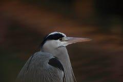 ardea灰质的灰色苍鹭 库存照片