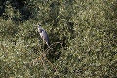 Ardea φαιάς ουσίας στο φυσικό περιβάλλον, ο Δούναβης του δέλτα Ρωμαίος Στοκ Φωτογραφία