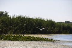 Ardea φαιάς ουσίας στο φυσικό περιβάλλον, ο Δούναβης του δέλτα Ρωμαίος Στοκ φωτογραφία με δικαίωμα ελεύθερης χρήσης