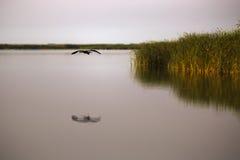 Ardea φαιάς ουσίας στο φυσικό περιβάλλον, ο Δούναβης του δέλτα Ρωμαίος Στοκ Εικόνες