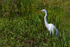 伟大的白色白鹭, (晨曲的Ardea),寻找膳食在布拉索斯河弯,得克萨斯。 免版税图库摄影