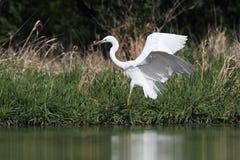 晨曲伟大的白色白鹭的Ardea 免版税库存图片