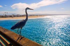蓝色苍鹭Ardea灰质在纽波特码头加利福尼亚 库存图片