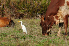 Ardea alba and Bos Taurus Indicus Royalty Free Stock Photography