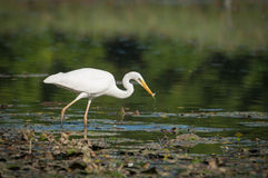 Ardea alba eating Royalty Free Stock Photo