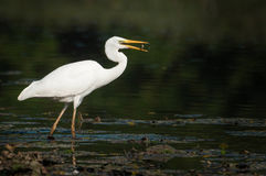 Ardea alba eating Royalty Free Stock Image