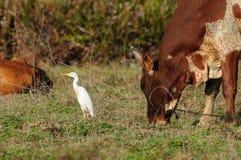 Ardea alba et Bos Taurus Indicus Photographie stock libre de droits