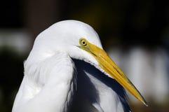 Ardea alba, gran egret Foto de archivo