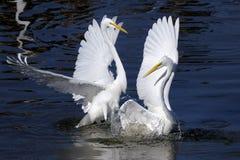 Ardea alba, gran egret Fotos de archivo libres de regalías