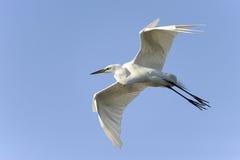Ardea alba, gran egret Imágenes de archivo libres de regalías